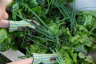 Frau pflückt Kräuter im Garten